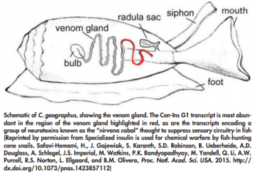 Conus Snail Schematic picture