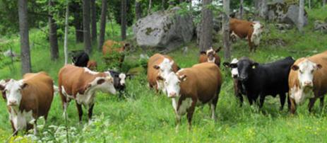 Kor på skog