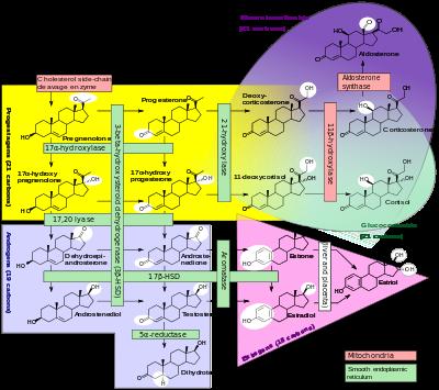 400px-Steroidogenesis.svg