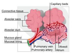 Alveoler