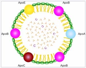 En förenklad bild av ett lipoprotein med innehåll av fetter (T = triglycerid) och ämnet kolesterol, C.