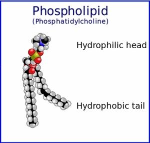 Två hydrofoba lipider kopplade via en glycerol till den hydrofila änden.
