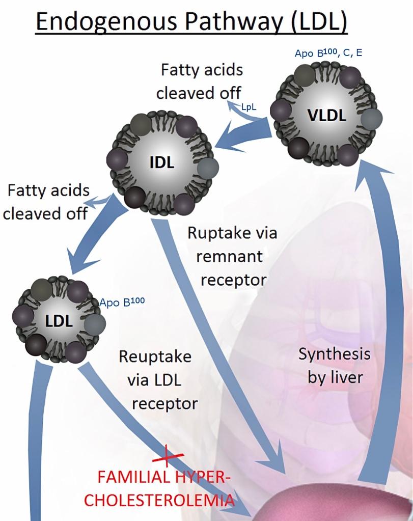 Detta visar schematiskt det avsnittet behandlar. Den plommonfärgade blobban nere till höger är levern.